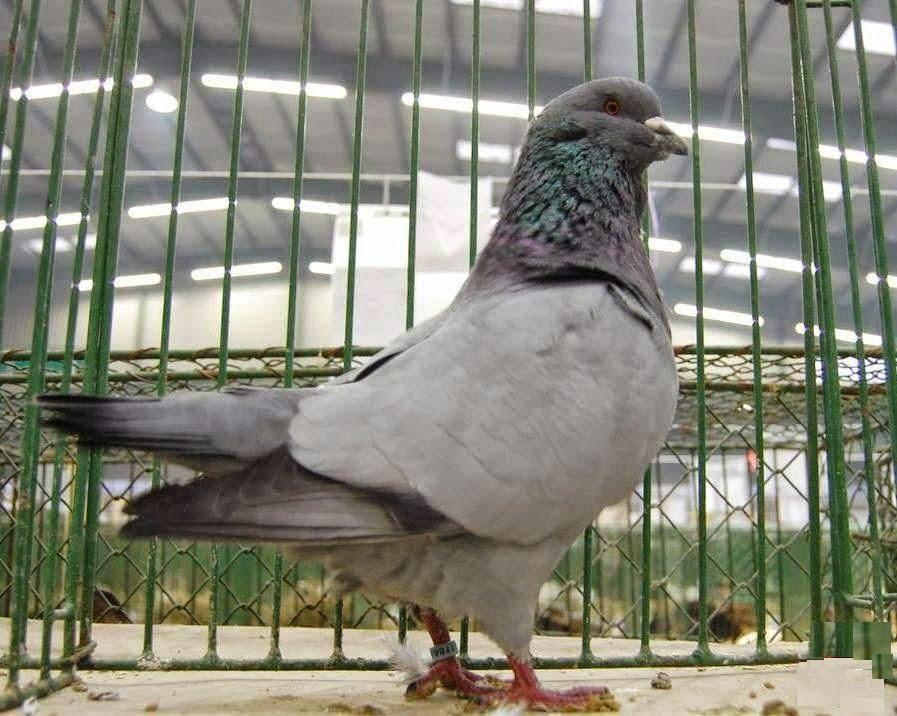 czech pigeons - form pigeons - blue pigeons