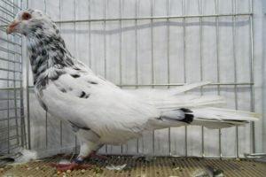 römer tauben - romain - runt pigeons