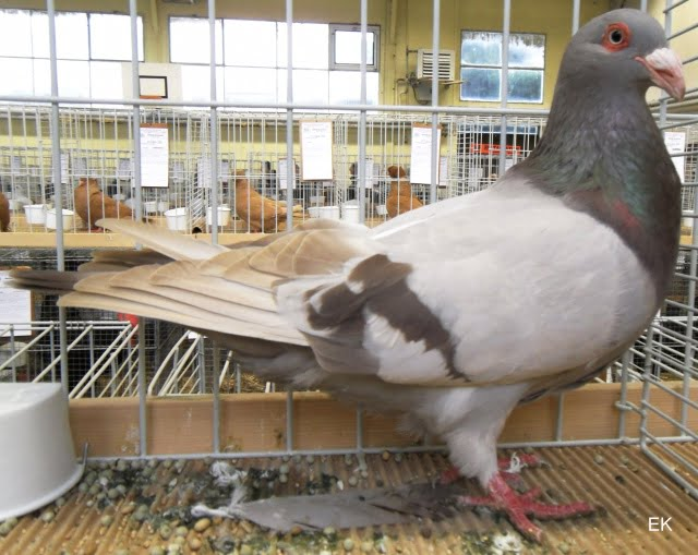 runt pigeon breed - french form pigeons - roman runt pigeons