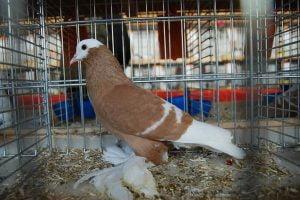 saxon monk pigeons - colour pigeons