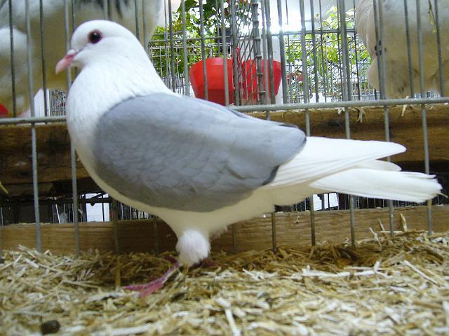 Bouclier de Thuringe - couleur pigeon