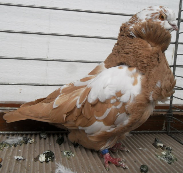 Cravaté Chinois - pigeons de structure