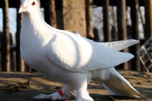 Dolnośląski Łapciaty - muffed white tumbler pigeons