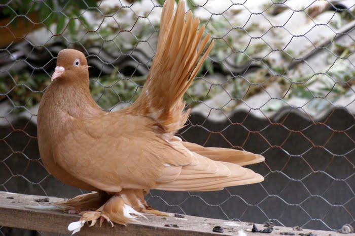 Rouleur de Debrecen - pigeon rouleur