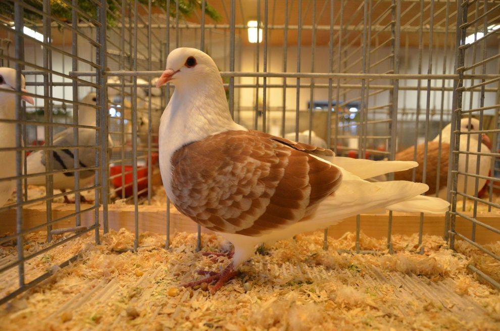 Thüringer Schildtaube - german pigeons - farbentauben