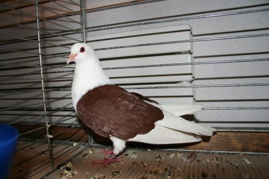 thuringian shield red - german pigeons