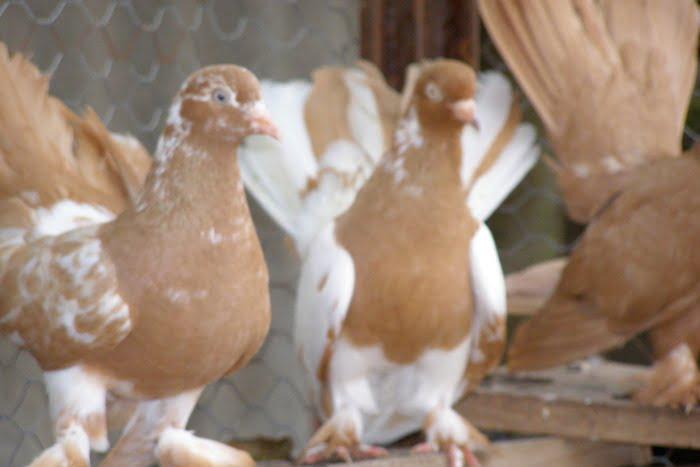 debrecin roller - roller pigeons