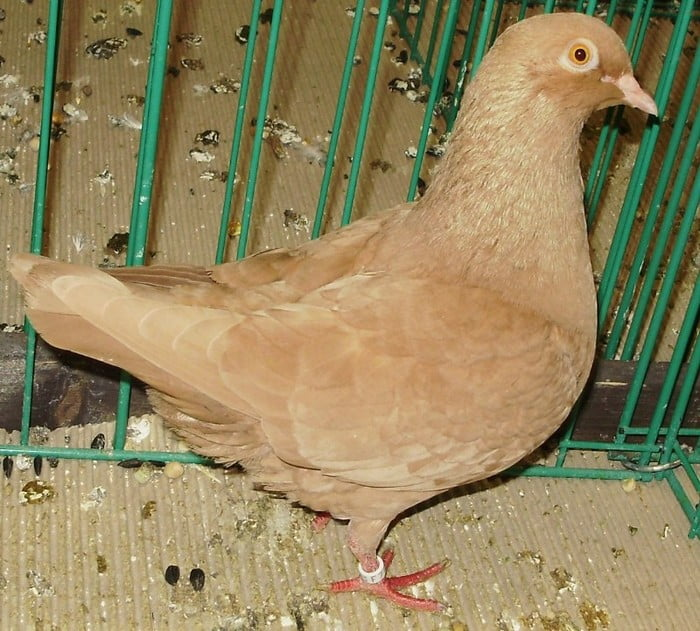 Triganino de Modène schietti - hen pigeons