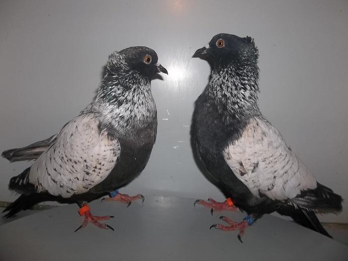 pheasant - silver colour pigeons