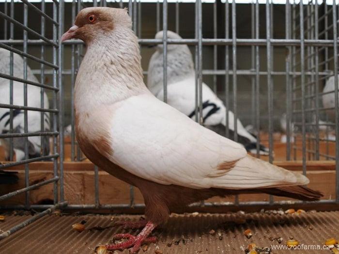 danish colour pigeons