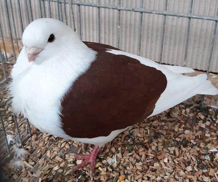 german owl pigeons - old pigeons breeds