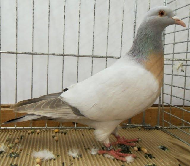 Coburg Lark - pigeons