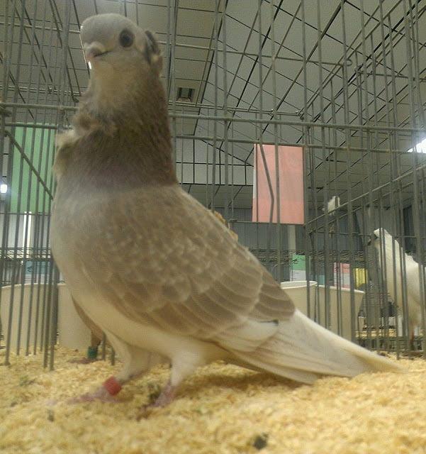Cravaté de Hambourg - pigeons cravate