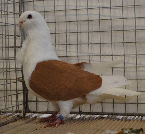 Cravaté d'Aix la Chapelle - pigeons cravate