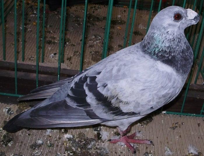 birdtrader pigeons - draagoon