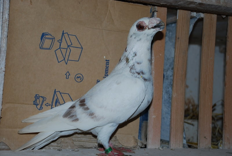 dragon tauben - birdtrader.co.uk pigeons