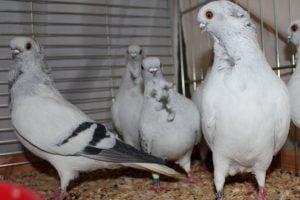 Hamburg Sticken - Hamburger Sticken - german pigeons