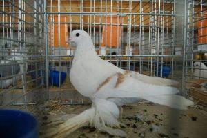 Saxon Crescent Pigeon - german colour pigeons