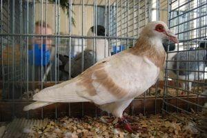 steinheim bagdad - warzentauben - wattle pigeons