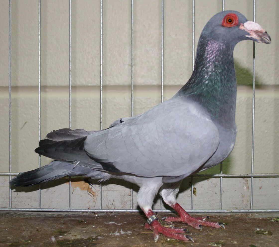 Steinheim Bagdad - wattle pigeons