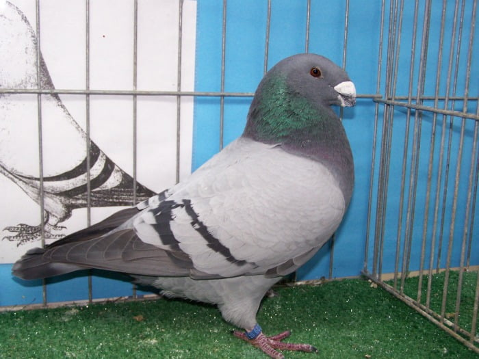 american show racer pigeons