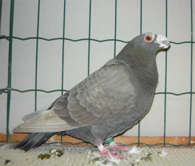 english pigeons - warzentauben - birdtrader pigeons uk