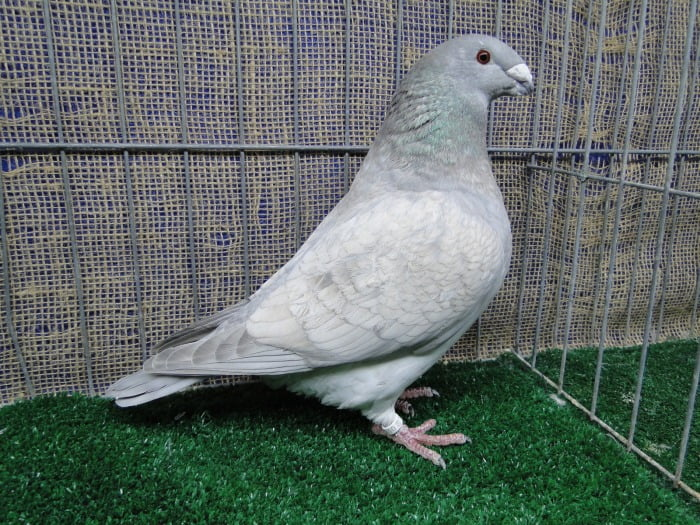 american show racer pigeon