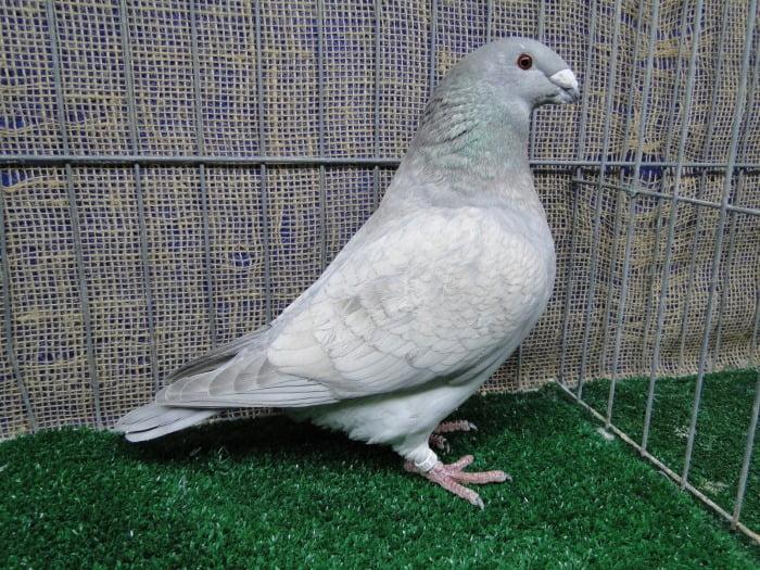 american show racer pigeon