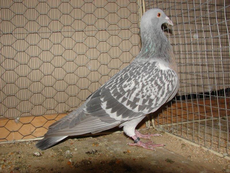 Alouette de Cobourg - form pigeons