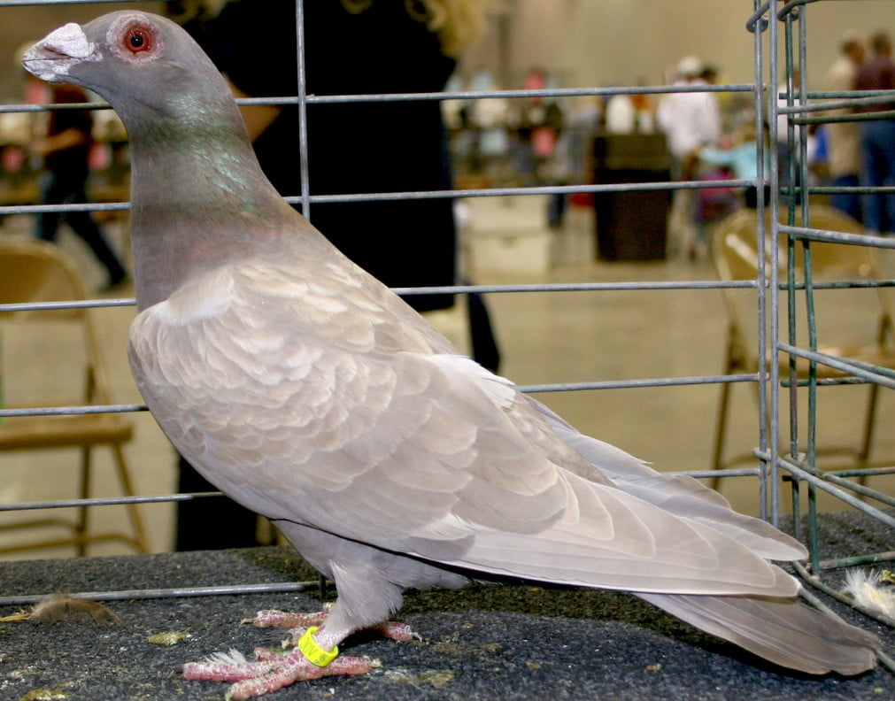 dragoon - wattle pigeons