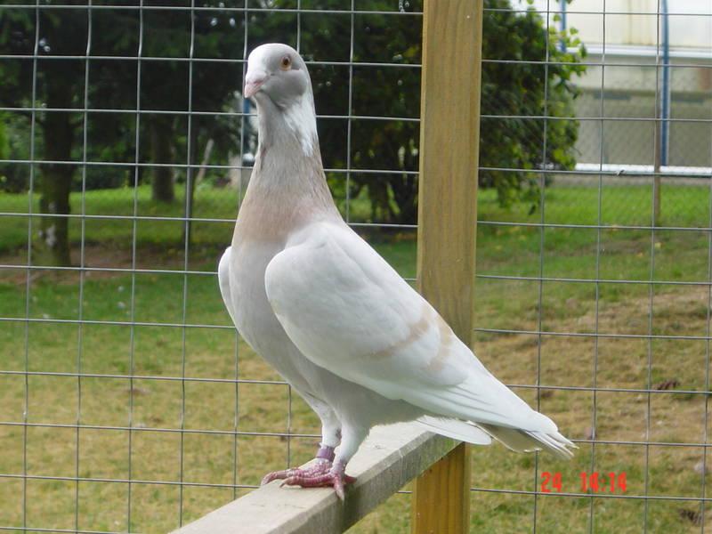 dewlap syrian pigeons