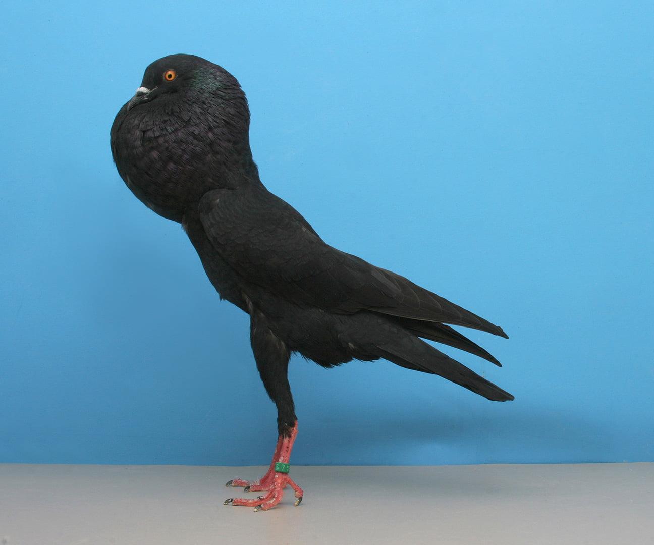 pouter cropper pigeons