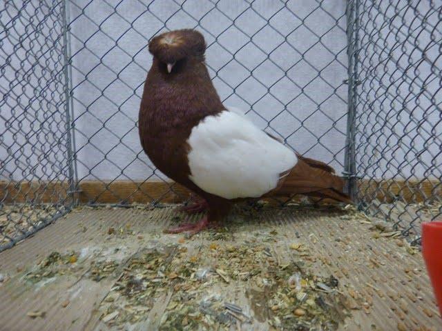 Franconian Trumpeter-trumpeter pigeons