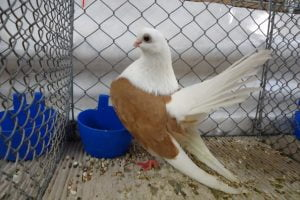 tumbler - taganroga pigeons