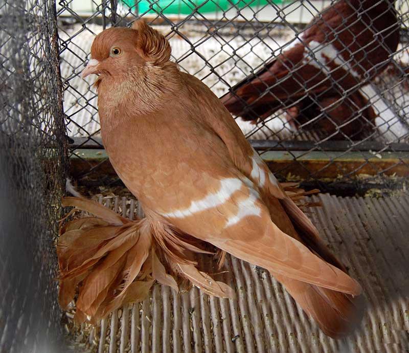 saxon field -muffed pigeons