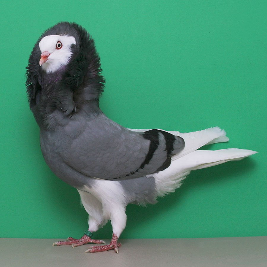 Old Dutch Capuchine - structure pigeons
