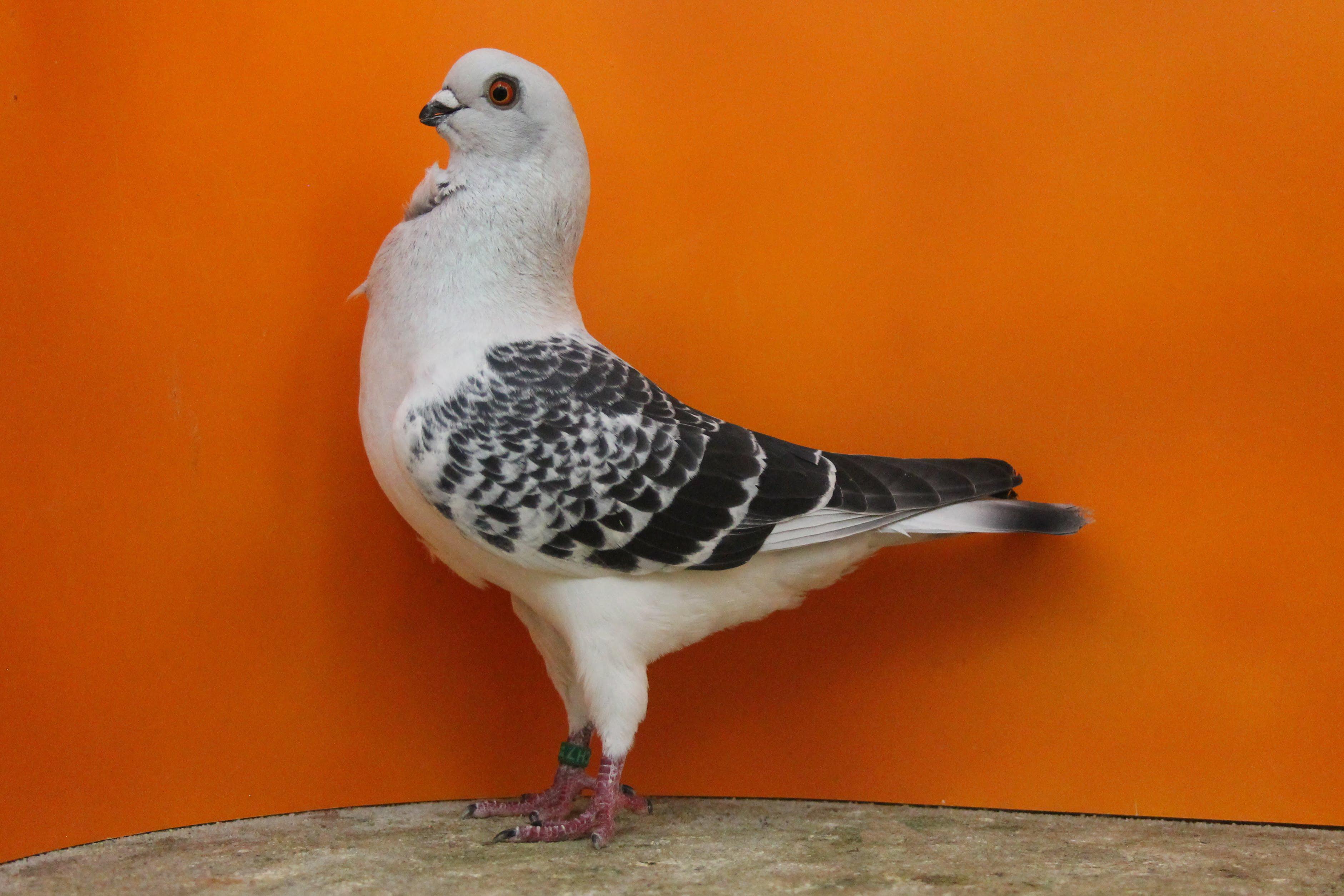 Cravaté Italien - pigeons cravate