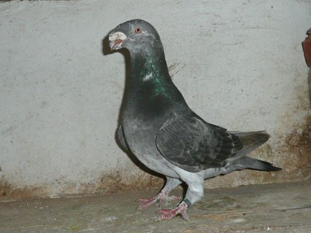 show homer- brieftauben- pigeons