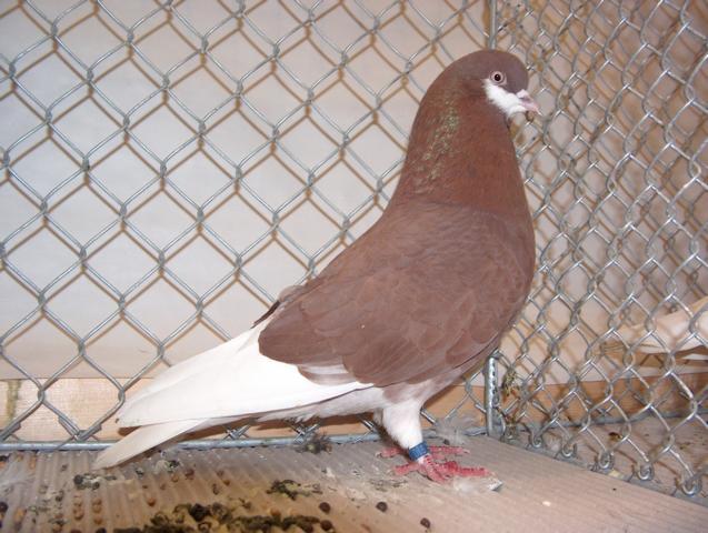 Amsterdam beard Tumbler - tumbler pigeons