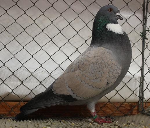 giant pigeons - Cauchois Pigeons