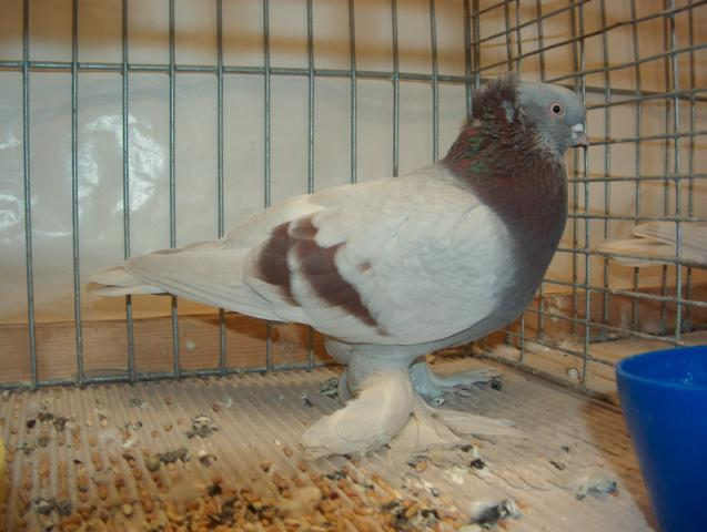tumbler muffed pigeons
