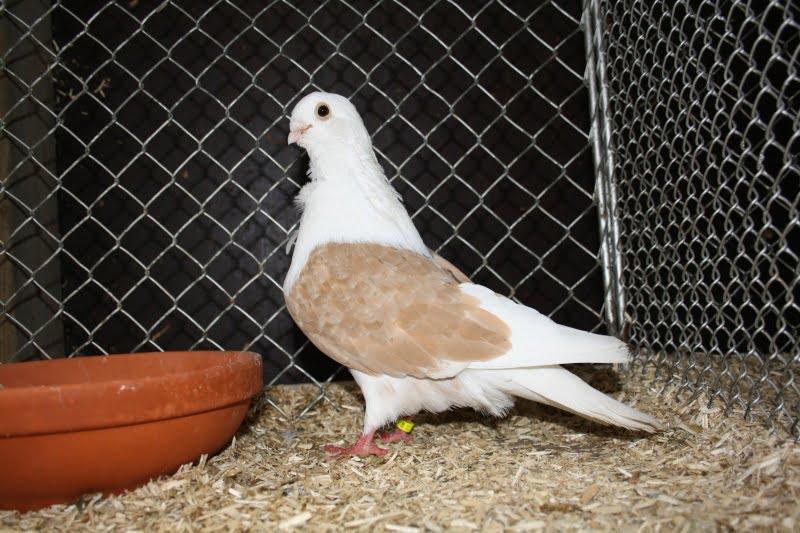 yellow shield - owl pigeons