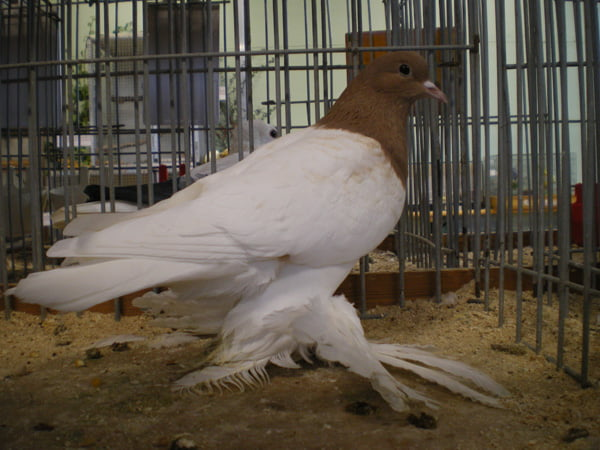 saxon breast - colur german pigeons