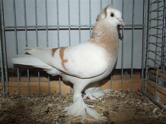 Tête blanche de Thuringe
