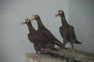 pigeons-wattle