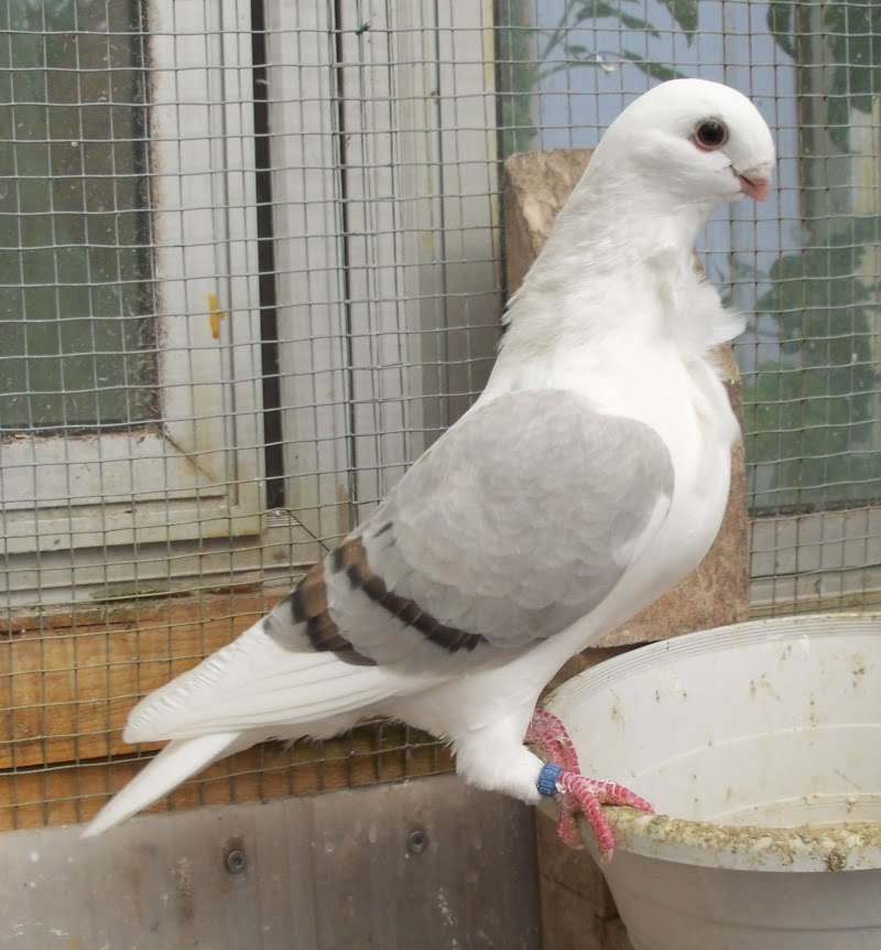 shield owl pigeons