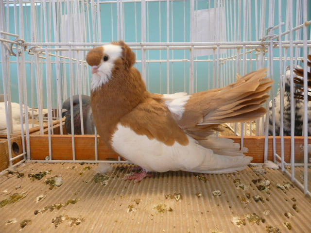 tumbler pigeons