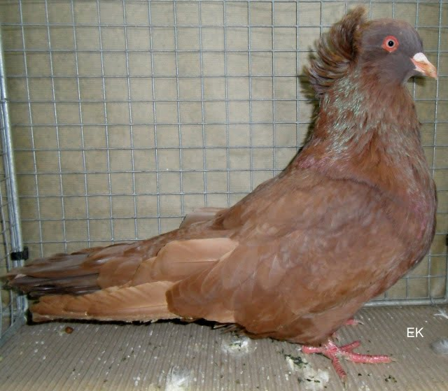 form pigeons