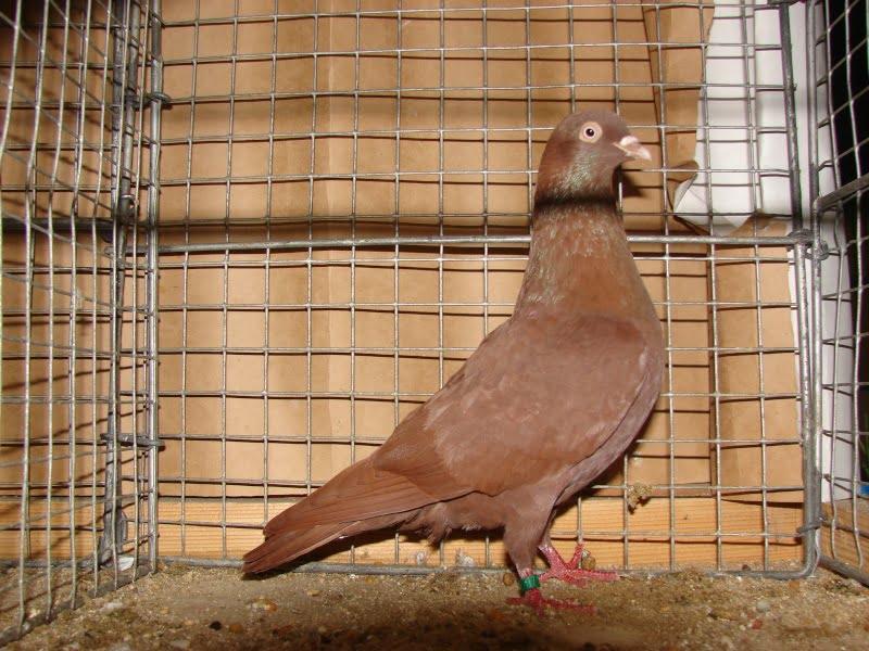 pigeons de Culbutant