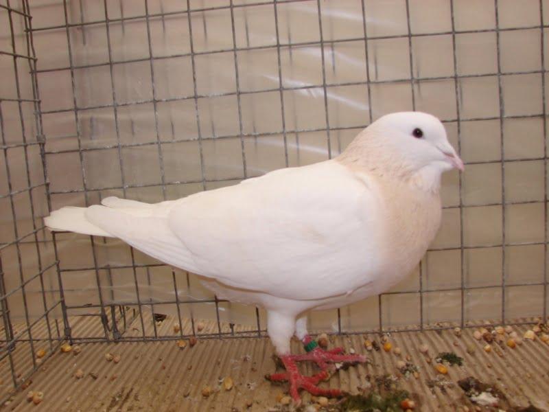Messager pigeons